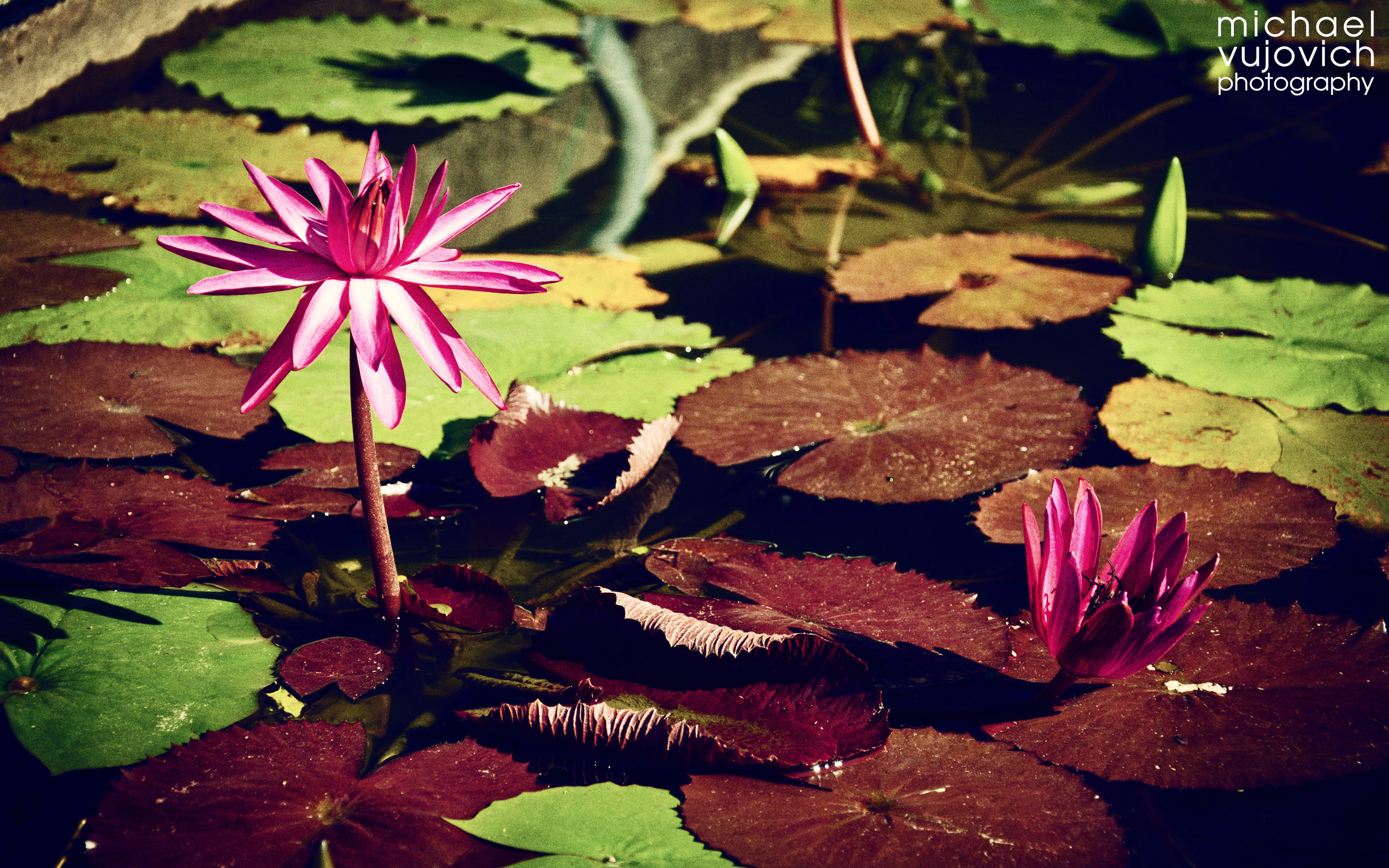Water Lily Bloom in Water Garden (June 2013 Desktop Background)